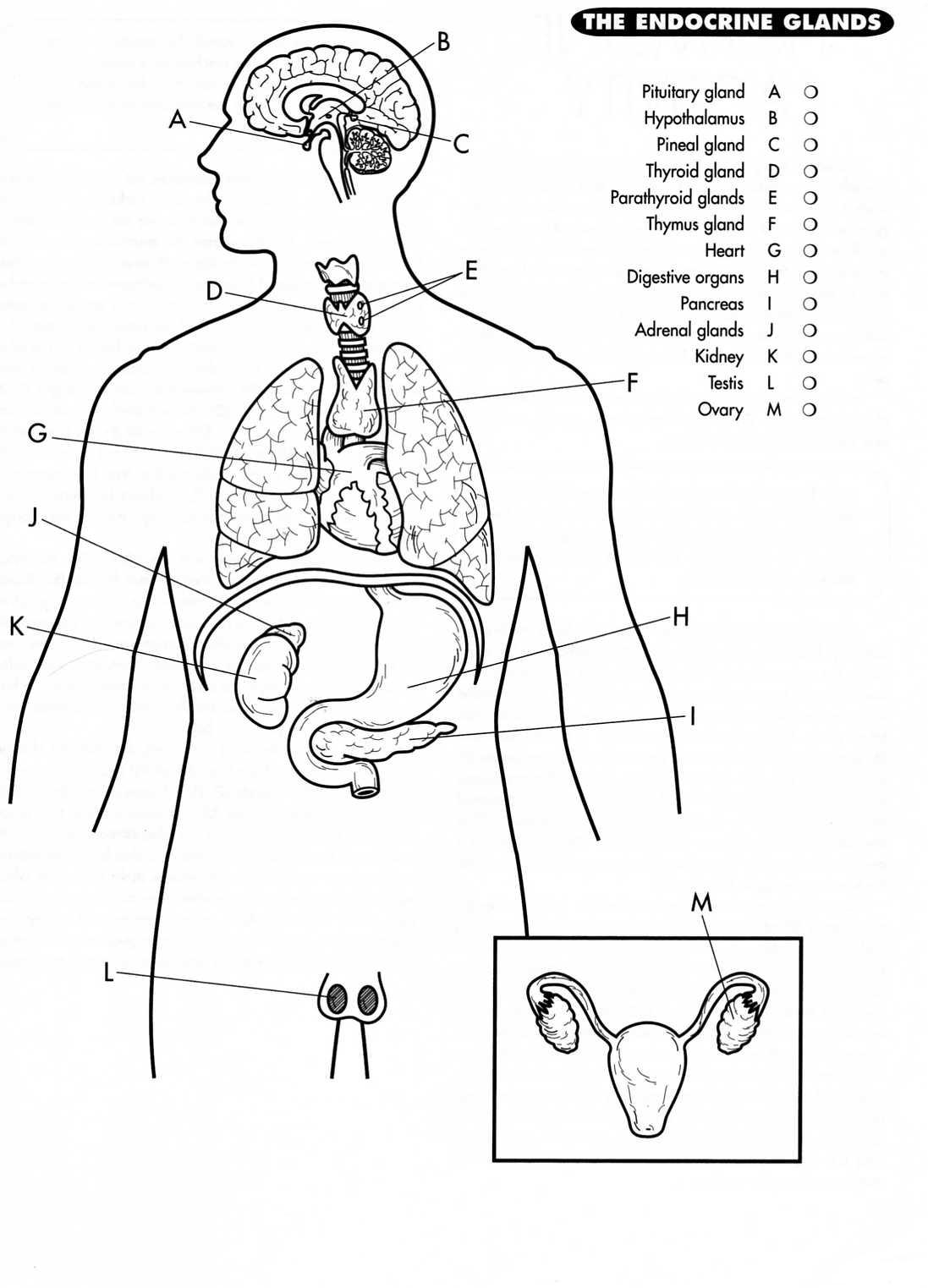 Endocrine System Drawing Sketch Coloring Page Endocrine System Coloring Pages